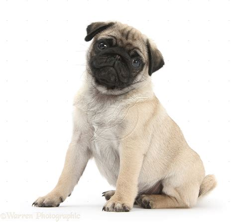 pug white background fawn pug pup weeks sitting white background free images at clker vector