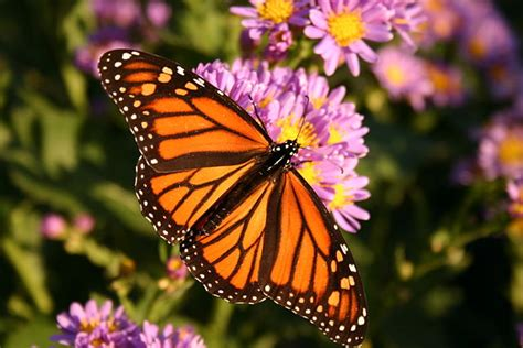imagenes de mariposas national geographic file danaus plexippus 01 jpg wikimedia commons