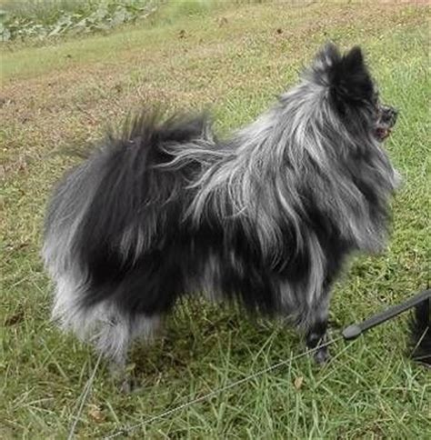 blue merle pomeranian for sale in michigan blue pomeranian cake ideas and designs