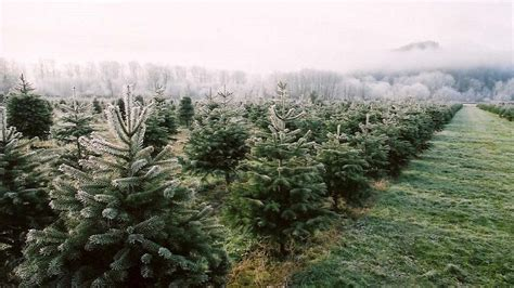 xmas tree farm carnation 6 tips for a u cut tree family vacation seattle refined