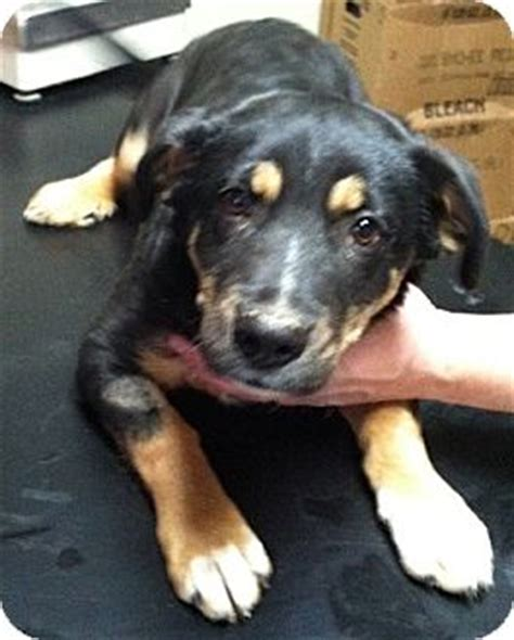 rottweiler dachshund mix grant adopted puppy wilmington oh dachshund rottweiler mix