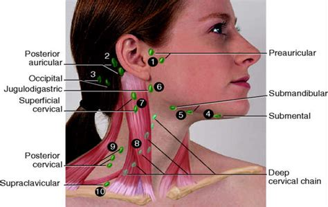 neck lymph node locations diagram neck lymph nodes nursessity