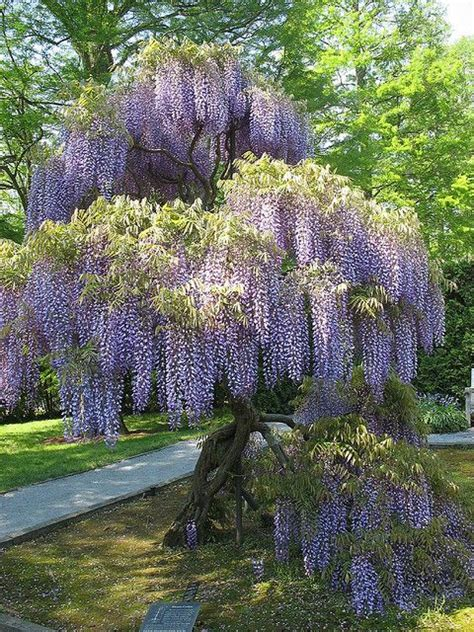 wisteria love the look hate the plant it is invasive seriously invasive can grow up the
