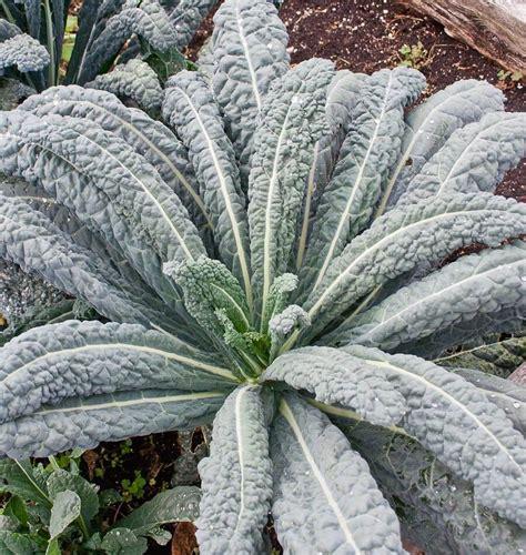 vegetables kale lacinato kale seeds
