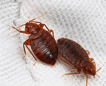 insectos de cama 191 c 243 mo reconocer y eliminar chinches o insectos de la cama
