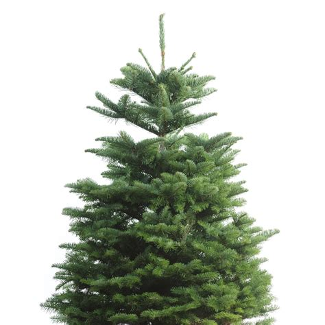 shop 3 5 ft fresh noble fir christmas tree at lowes com