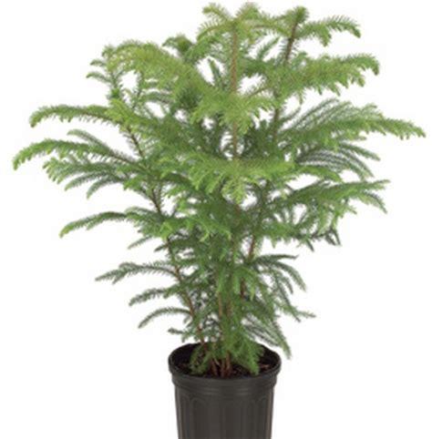 Tanaman Hias Cemara Kinoki tanaman cemara norfolk jual tanaman hias