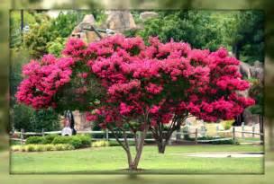 crepe myrtle colors living in williamsburg virginia crepe myrtle trees in