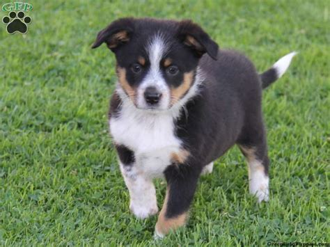 and blue heeler puppies for sale border collie page 50 the universe of animals