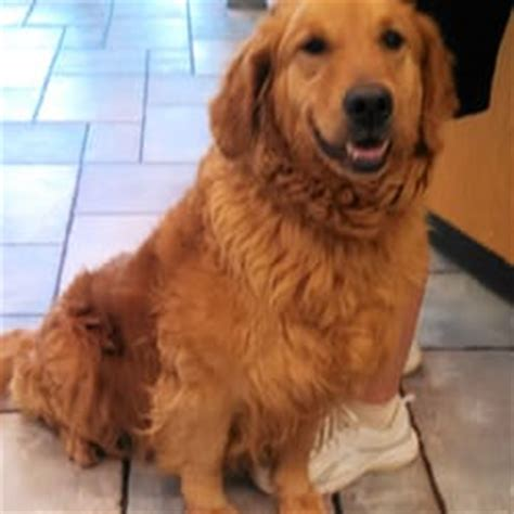 missouri golden retriever rescue dirk s fund golden retriever rescue 14 reviews pets 536 indian warpath dr