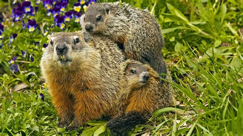 groundhog day hd popcorns groundhog photos and facts