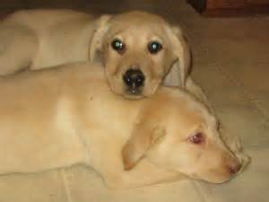 chocolate lab puppies for sale tn labrador retriever puppies in tennessee