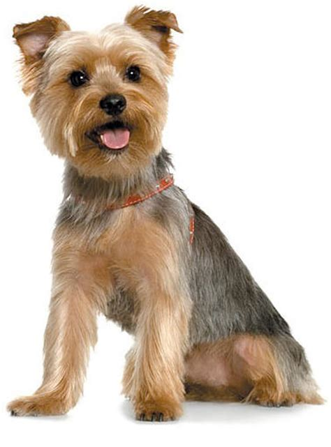 silky terrier with haircut yorkshire terriers akc ocala florida