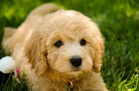 golden labradoodle puppy goldendoodle golden retriever poodle mix