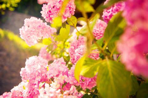 Hortensien Arten Und Sorten 3161 by Hortensien 187 Diese Sorten Vertragen Viel Sonne