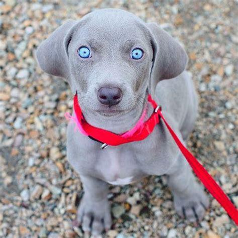 weimeraner puppies to the hypnotic of these weimaraner puppies