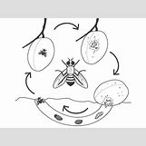 Fruit Fly Life Cycle Stages | 400 x 300 jpeg 38kB