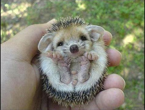 Cute hedgehog   Daily Cuteness