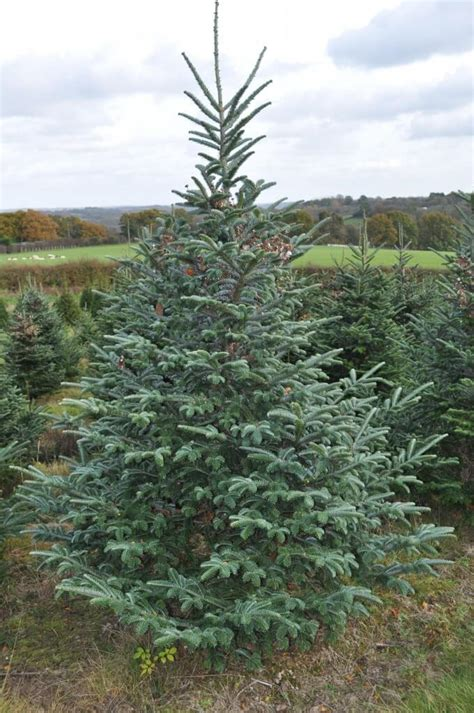 real xmas trees for sale newcastle fraser fir trees for sale sendmeachristmastree