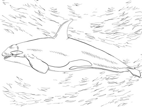 fin whale coloring page how to draw fin whale