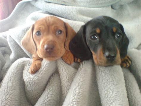 Mini Dachshunds Puppies images