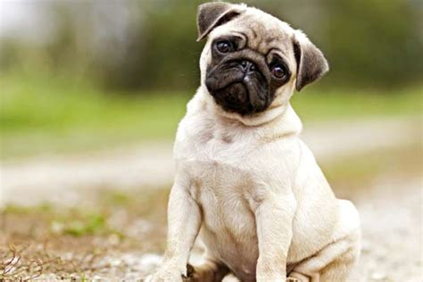 pugs bred for lions 10 small breeds to own if you live in a small apartment