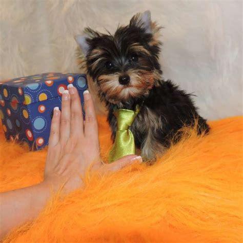 mini pup mini terrier pup for sale garth teacup yorkies