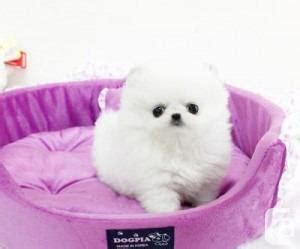 teacup pomeranian toronto and white teacup pomeranian puppy for sale in burlington ontario