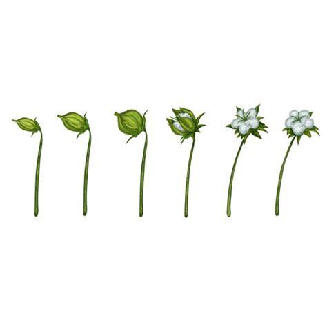 fiore di cotone fiore di cotone foto e vettori gratis