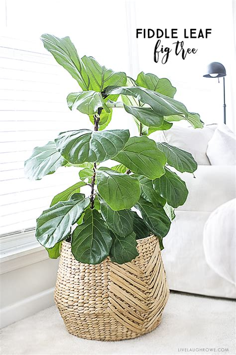 fiddle leaf fig fiddle leaf fig tree tips for care live laugh rowe