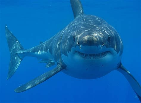 largest sharks in the world great white shark largest