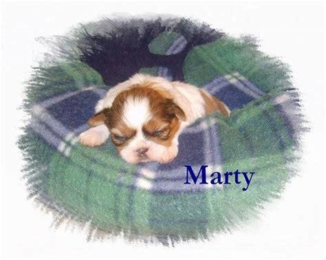 puppies for sale in yuma az akc shih tzu puppies 2 yr health guarantee for sale adoption from yuma arizona