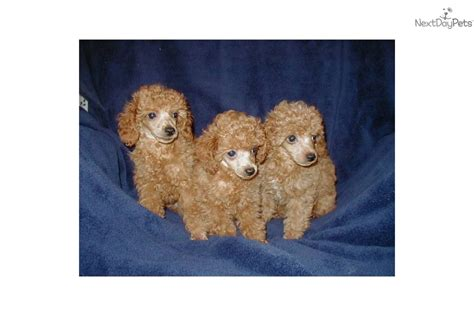 orange county indiana poodle rescue poodle puppy for sale near kokomo indiana 1dc05837