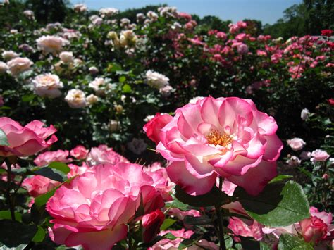 rose gardening cranford rose garden brooklyn botanic garden