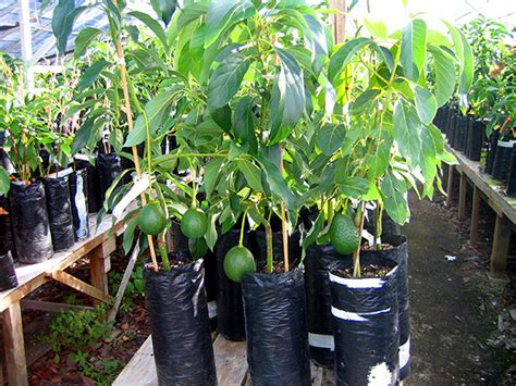 fruit trees for sale nz avo pro year 24 7