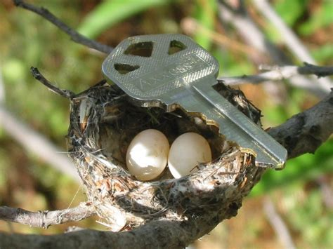 anna s hummingbird nest in scale birds of the sierra