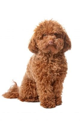 picture of poodle with silky hair texture toy poodle the right breed for you