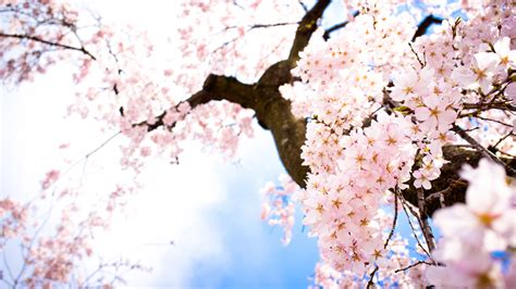 wallpaper flower japan japan wallpapers best wallpapers