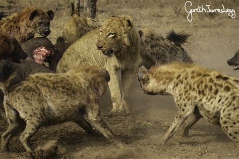 hyena vs battle for buffalo hyenas take on lions in an epic show of and photo