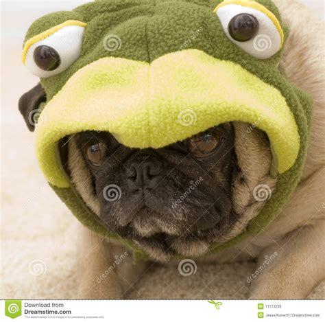 pug frog costume frog pug royalty free stock images image 11113239