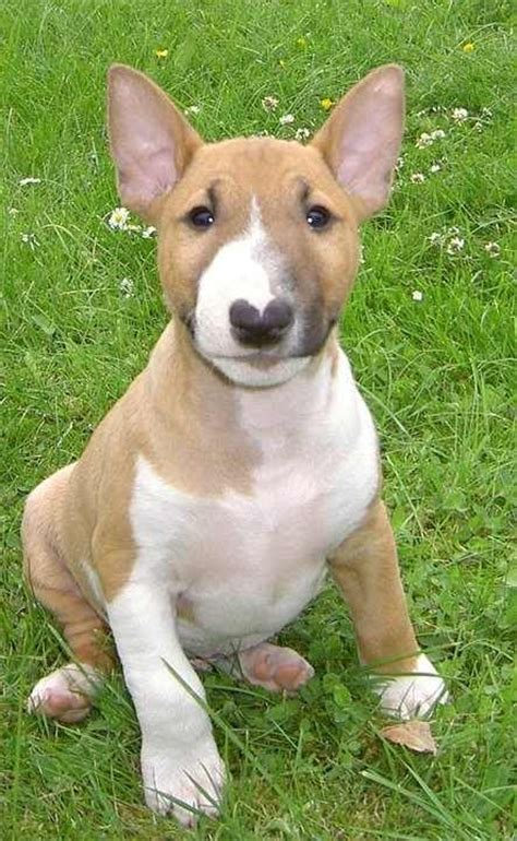 mini bull terrier puppies best 25 mini bull terriers ideas on bull terrier puppy bull
