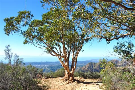 eucalyptus trees eucalyptus tree lookout photos diagrams topos