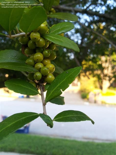 plant identification what s this tree green berries