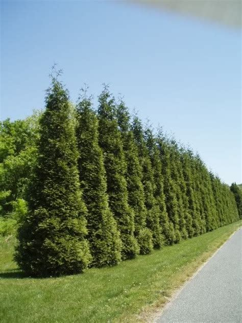 thuja green giant grows approximately 3 feet each year