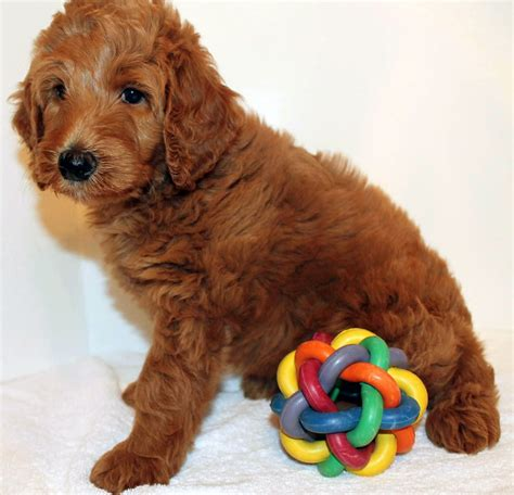 goldendoodle club of america goldendoodle colors 28 images goldendoodle color