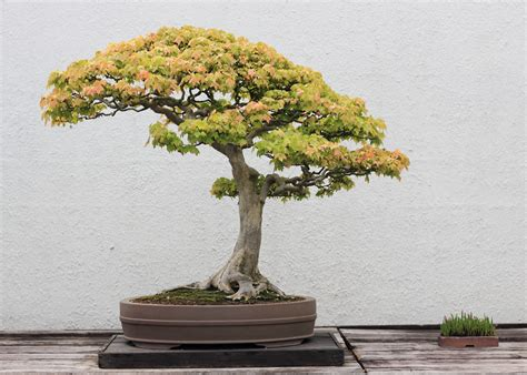bonzi tree trident maple bonsai trees
