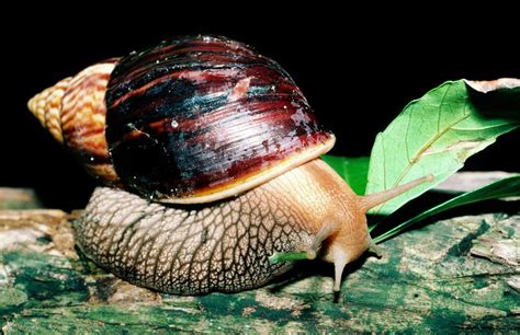 how should s nails be should land snails be kept as pets
