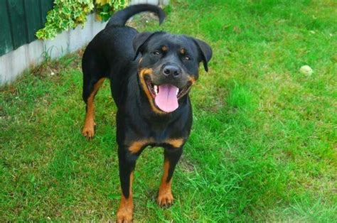 half rottweiler half mastiff half mastiff half rottweiler breeds picture