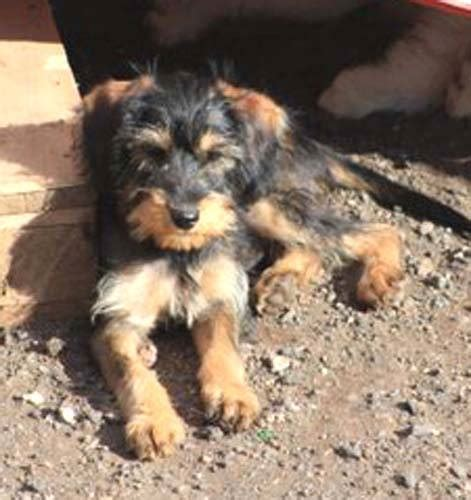 Corky Hund by Happy End Fergus Corky Mischling Welpe N Zuhause