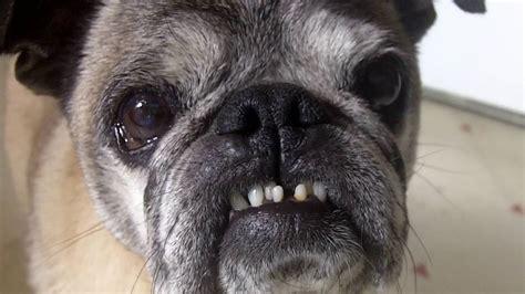 pug teeth killer pug bares teeth